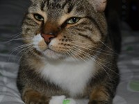 Kity is a short haired tabby cat (our youngest fur baby) wearing the exclusive softpaws nails only available at Kylies Cat Grooming Services also all size dogs. Enquire now to protect your furniture from scratches.