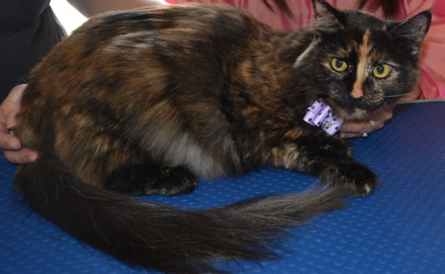 After: Maron is a medium length haired moggy cat pampered by Kylies Cat Grooming Services and all size dogs!.
