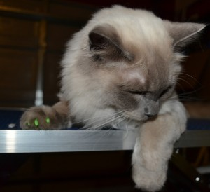 Memphis is a Ragdoll breed, he is wearing Kylies Cat Grooming also all size dogs exclusive softpaws nails, these nails glow in the dark and protect your furniture from being scratched, a must and only available here.