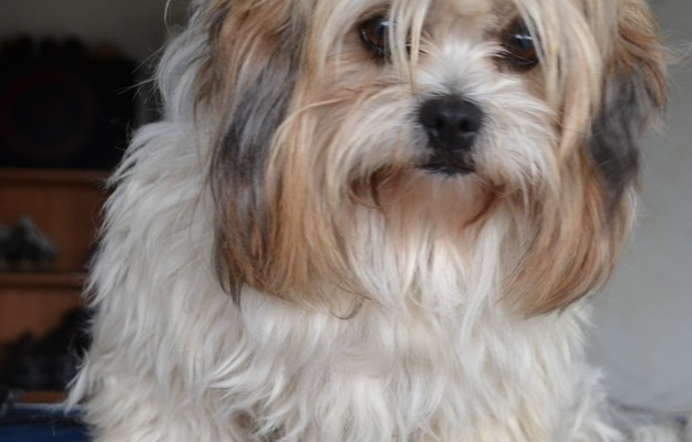 Missy is a (Maltese x) pampered by Kylies Cat Grooming Services also all size dogs!