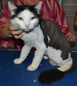 After: Nathaniel is a long haired moggy cat pampered by Kylies Cat Grooming Services also all size dogs!.