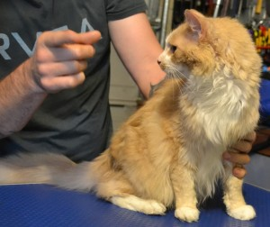 Oscar is a MaineCoon breed pampered by Kylies Cat Grooming Services also all size dogs