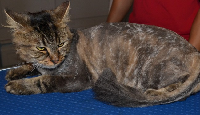 After: Polly is a long haired moggy cat pampered by Kylies Cat Grooming Services and all size dogs!.