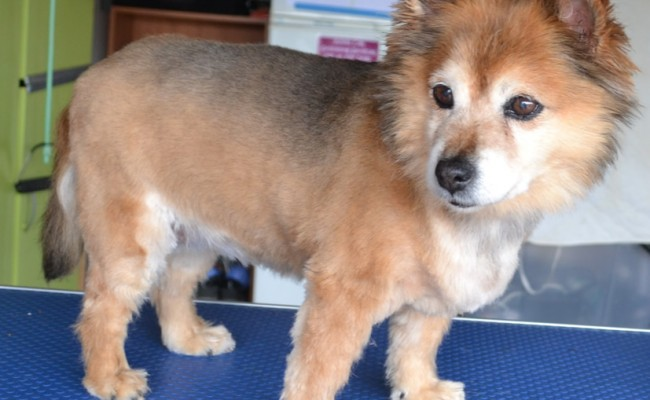 Rosie is a 14yr old (Pomaranian x) pampered by Kylies Cat Grooming Services also all size dogs!