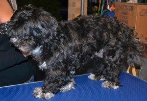 Before: Zoe is a Shih Tzu x Maltese Terrier pampered by Kylies Cat Grooming Services and all size dogs!.