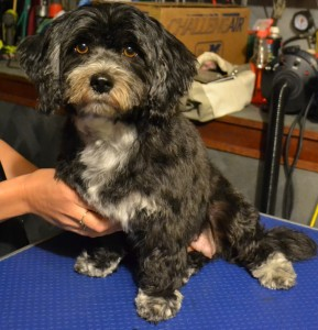 After: Zoe is a Shih Tzu x Maltese Terrier pampered by Kylies Cat Grooming Services and all size dogs!.