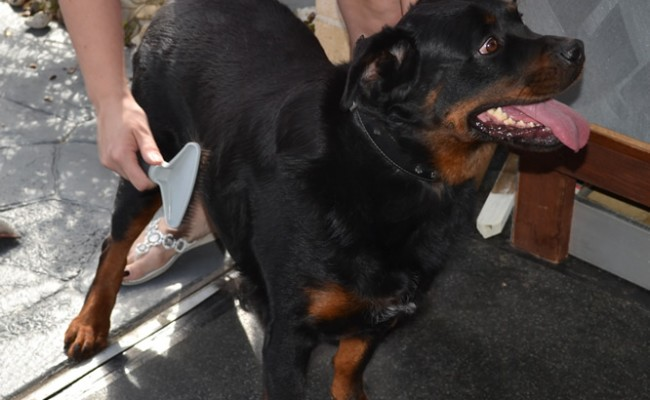 RAKE TIME: Mynie is a Rottweiler that has been fur raked, bathed and blow dried. Nails clipped and ears cleaned. By Kylies Cat Grooming Services also all size dogs!