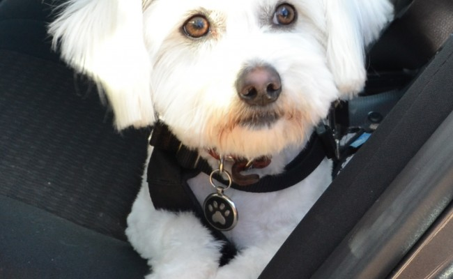 Buddy is a Maltese Terrier, Shih Tzu, Pomeranian x pampered by Kylies Cat Grooming Services also all size dogs!