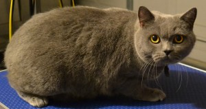 Before: Chesy is a British blue cat pampered by Kylies Cat Grooming Services also all size dogs!