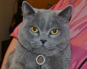 After: Chesy is a British blue cat pampered by Kylies Cat Grooming Services also all size dogs!