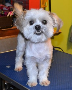 Doof is a Shih Tzu x Maltee Terrier pampered by Kylies Cat Grooming Services also all size dogs!