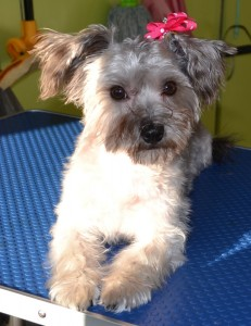 After: Flossy is a 10month Silky Terrier x Maltese Terrier pampered by Kylies Cat Grooming Services also all size dogs!