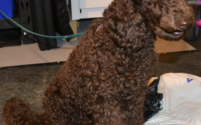Gus is a poodle pampered by Kylies Cat Grooming Services also all size dogs!