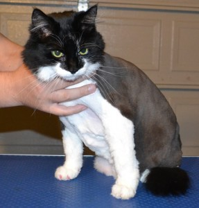 Lilly is a long haired domestic cat pampered by Kylies Cat Grooming Services also all size dogs!