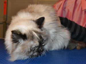Lilly is a ragdoll cat pampered by Kylies Cat Grooming Services also all size dogs!