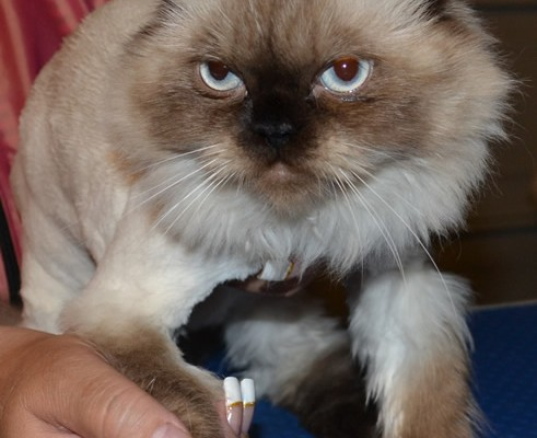 Mekha is a 1 year old Himalayan cat that has been pampered and is showcasing Kylies Cat Grooming also all size dogs SoftPaw Claws!, protect your furniture, protect your fur babies health. In stock now, safe, healthy and the ultimate in your fur baby fashion statement!