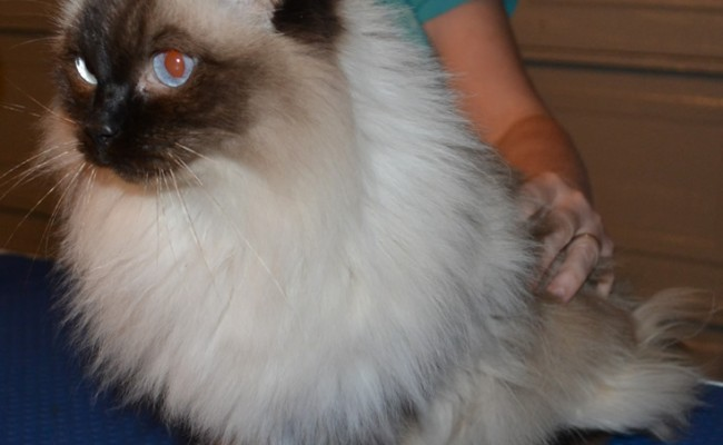Minnie is a ragdoll pampered by Kylies Cat Grooming Services also all size dogs!