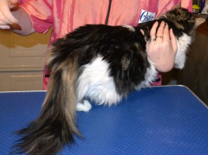 Missy is a long hair moggy pampered by Kylies Cat Grooming Services also all size dogs!