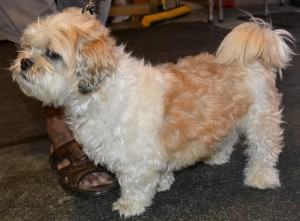 Moti is a Maltese x Shih Tzu pampered by Kylies Cat Grooming Services also all size dogs!
