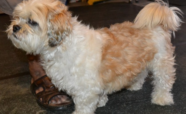 Moti is a Maltese x Shih Tzu pampered by Kylies Cat Grooming Services ...