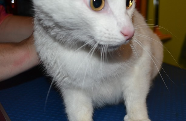 Snowball is a domestic white cat. Washed, blow-dryed nails trimmed with softpaw nails. Pampered by Kylies Cat Grooming Services also all size dogs!