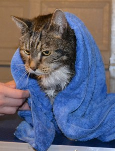 Tiger is a domestic tabby cat that has been fur raked, washed and blow dry, nails trimmed and wearing SoftPaw nails by Kylies Cat Grooming Services also all size dogs!