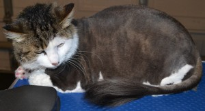 Tilly is a domestic medium haired tabby that has had a full grooming service and also wearing SoftPaw nails by Kylies Cat Grooming Services also all size dogs!