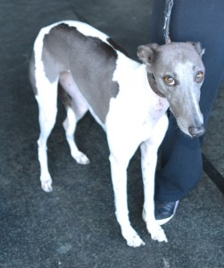 Abbey is a whippet pampered by Kylies Cat Grooming Services also all size dogs!