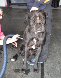 Bear is a Wolfhound Bullarab x Mastiff pampered by Kylies Cat Grooming Services also all size dogs