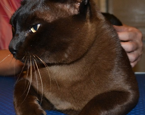 Brownie is a Burmese Cat sporting SoftPaw Nail Caps absolutely pampered by Kylies Cat Grooming Services also all size dogs. Protect your furniture now!