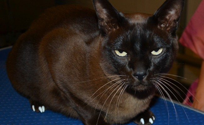 Chocolate is a Burmese Cat Sporting the stylish and furniture safe SoftPaw Nail Caps, pampered by Kylies Cat Grooming Services also all size dogs!