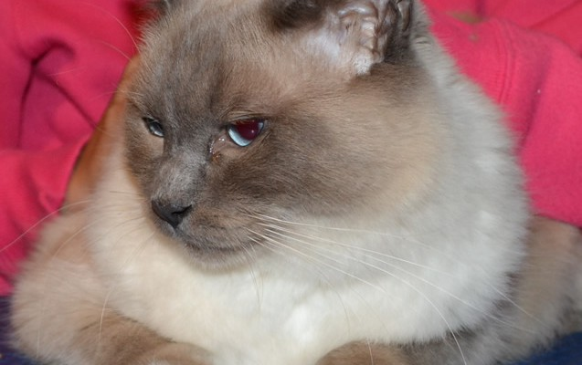 Romi is a Blue Point Ragdoll pampered by Kylies Cat Grooming Services also all size dog
