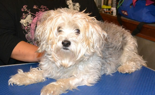 Jericho is a Maltese Terrier pampered by Kylies Cat Grooming Services also all size dogs!
