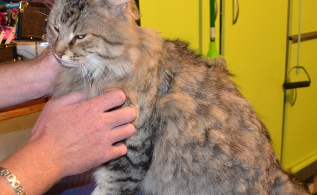 Jimmy is a medium length tabby cat pampered by Kylies Cat Grooming Services also all size dogs!