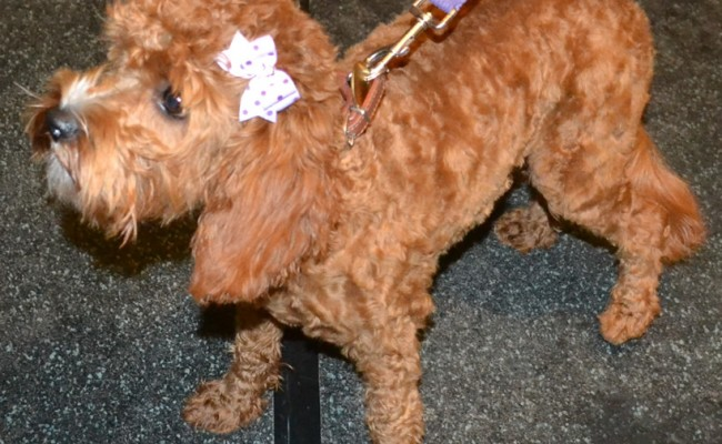 Layla is a Cavoodle pampered by Kylies Cat Grooming Services also all size dogs!