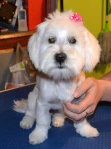 Layla is a 5 month old maltese terrier pampered by Kylies Cat Grooming Services also all size dogs!
