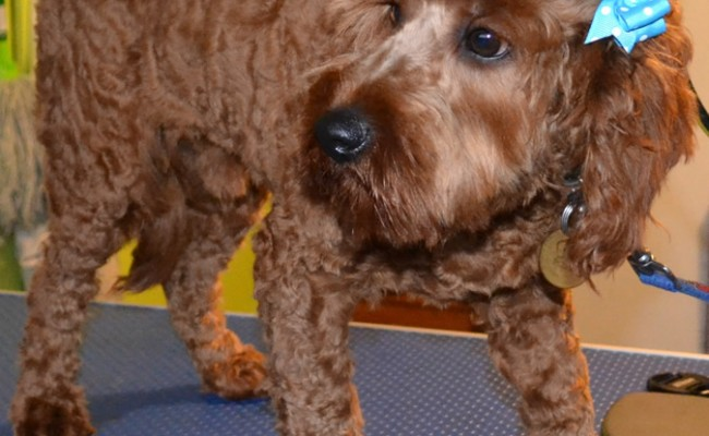 Lucky is a Cavoodle pampered by Kylies Cat Grooming Services also all size dogs!