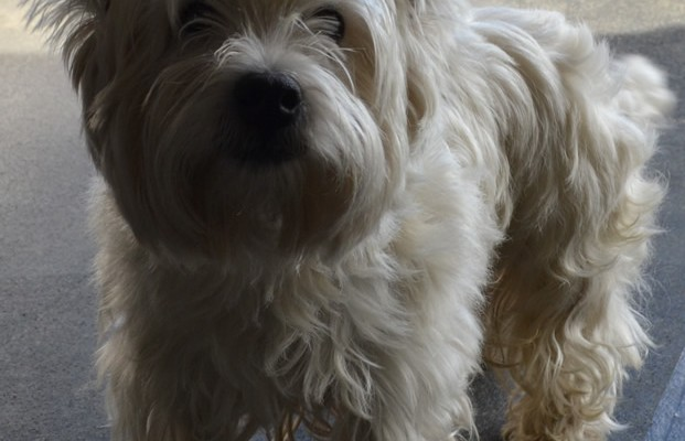 Mac is a West Highland Terrier pampers by Kylies Cat Grooming Services also all size dogs!