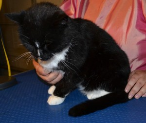 Mittens is a short haired domestic breed pampered by Kylies Cat Grooming Services also all size dogs