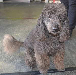 Nelson is a miniture poodle (Well not so miniture), pampered by Kylies Cat Grooming Services also all size dogs!