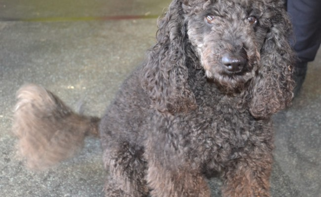 Before: Nelson is a miniture poodle (Well not so miniture), pampered by Kylies Cat Grooming Services also all size dogs!