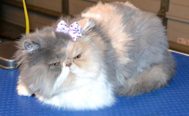 Phoenix is a 6 month old Persian pampered by Kylies Cat Grooming Services also all size dogs!