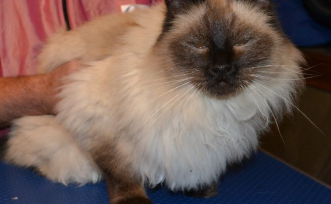 Before: Sigan is a Seal Point Ragdoll pampered by Kylies Cat Grooming Services also all size dogs!