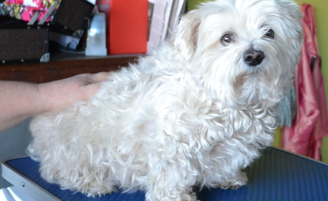 Pebbles is a Maltese Terrier pampered by Kylies Cat Grooming Services Also All Size Dogs