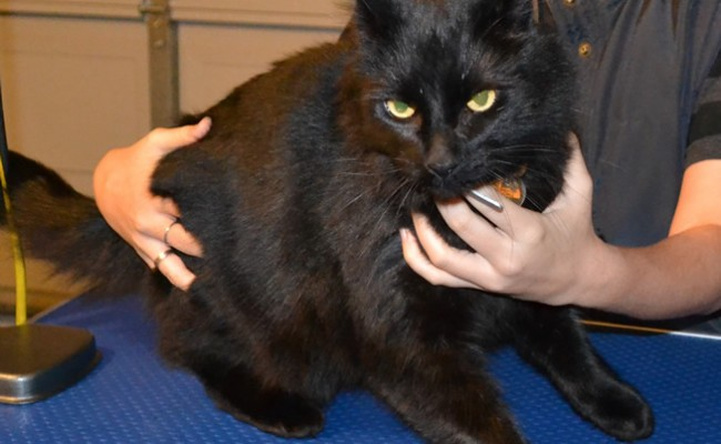 Before – Merzbow is a Mainecoon X Domestic breed pampered by Kylies Cat Grooming Services Also All Size Dogs
