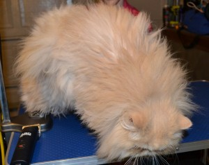 Cyrus is a Persian breed who is wearing Glitter Blue Softpaw nail caps. Pampered by Kylies Cat Grooming Services Also All Size Dogs.
