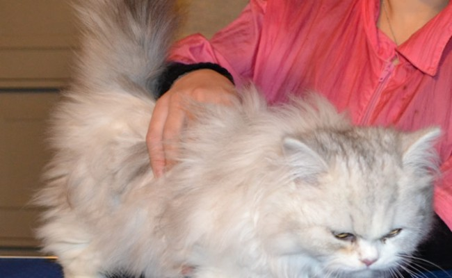 Before – Ruby is a 11 and half week old Persian Kitten. She came in for fur raking, nail clipping and wash n blowdry. Pampered by Kylies Cat Grooming Services Also All Size Dogs.