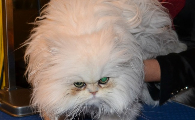 Marly is a Sealpoint Ragdoll pampered by Kylies cat Grooming Services Also All Size Dogs