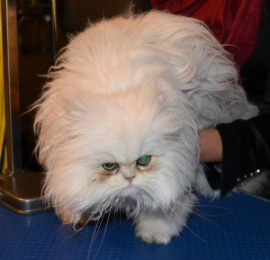Before shot- Yiota is a 6 month old Persian breed who had to be shaved down due to most of her fur being matted to the skin. Pamapered by Kylies Cat Grooming Services Also All Size Dogs.