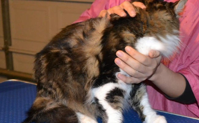 Tiger is a Medium Length Hair Female Tabby, pampered by Kylies Cat Grooming Services Also All Size Dogs